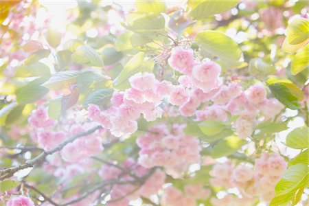 spring background - Cherry Blossoms Stock Photo - Rights-Managed, Code: 822-05948671