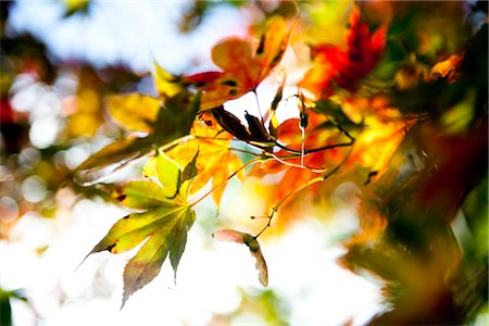 Autumn Leaves Stock Photo - Rights-Managed, Code: 822-05948824