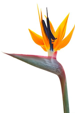 Bird of Paradise Flower Stock Photo - Rights-Managed, Code: 822-05948856