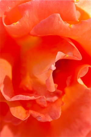 spring background - Orange Rose Stock Photo - Rights-Managed, Code: 822-06302755