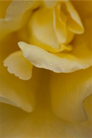 Yellow Rose Stock Photo - Rights-Managed, Code: 822-06302774