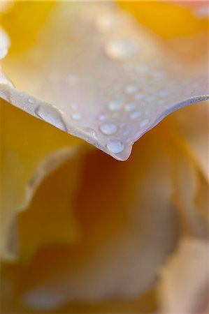 petal - Rain Drops on Yellow Rose Petals Stock Photo - Rights-Managed, Code: 822-06302770