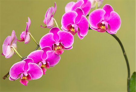 purple - Bright Pink Orchids Stock Photo - Rights-Managed, Code: 822-06302805