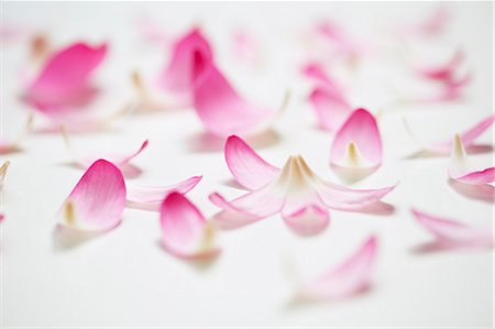 petal - Lotus Petals Stock Photo - Rights-Managed, Code: 822-06302809