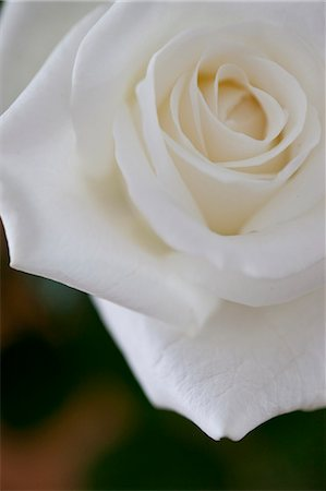 rose - White Rose Stock Photo - Rights-Managed, Code: 822-06302823