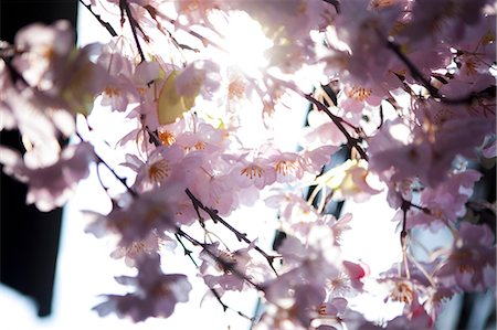 flowers - Pink Cherry Blossom, Close-up View Stock Photo - Rights-Managed, Code: 822-06702369