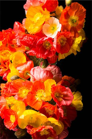 Close up of Orange and Yellow Poppies Stock Photo - Rights-Managed, Code: 822-07117382