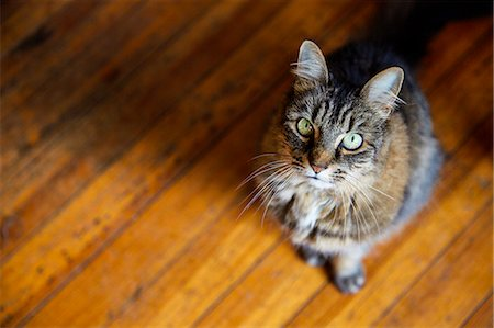 pet - Cat Sitting on Wood Floor, High angle view Stock Photo - Rights-Managed, Code: 822-07355660