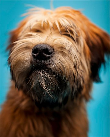 Furry Dog, Close-up view Stock Photo - Rights-Managed, Code: 822-07840855