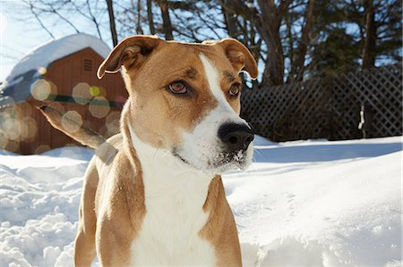Portrait of Dog in Snow Stock Photo - Rights-Managed, Code: 822-08026352