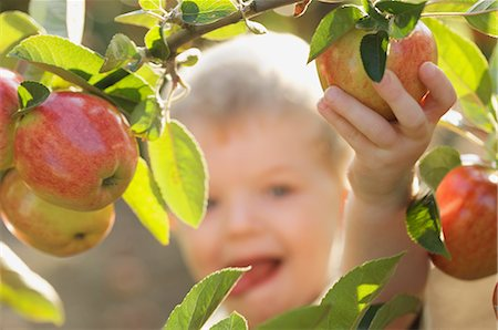 single fruits tree - Close up of a young boy picking an apple from an apple tree Stock Photo - Rights-Managed, Code: 822-02621029