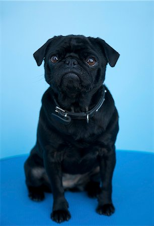pvg - Portrait of a black pug sitting Stock Photo - Rights-Managed, Code: 822-02738926