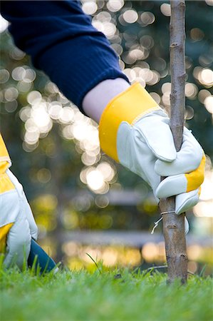 Close up of a man's hand planting a tree Stock Photo - Rights-Managed, Code: 822-03406638