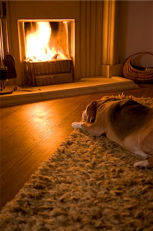 dog in heat - Beagle lying in front of a fire Stock Photo - Rights-Managed, Code: 822-03407074