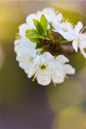 single fruits tree - Apple blossom Stock Photo - Rights-Managed, Code: 822-03485614