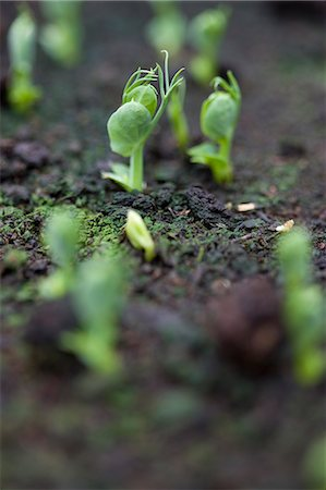 Close up of pea seedlings Stock Photo - Rights-Managed, Code: 822-03485633