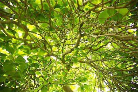 Magnolia Soulangiana Lennei Tree Stock Photo - Rights-Managed, Code: 822-03601536