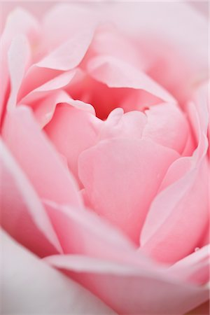 petal - Extreme close up of a Pink Rose Stock Photo - Rights-Managed, Code: 822-03601839