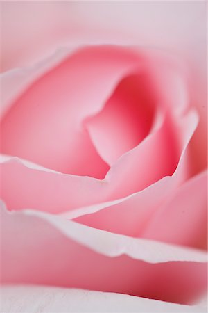 petal - Extreme close up of a Pink Rose Stock Photo - Rights-Managed, Code: 822-03601840