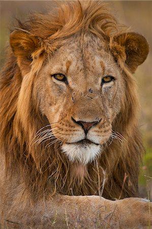 Male lion, Ol Pejeta Conservancy; Kenya Stock Photo - Rights-Managed, Code: 832-08007533