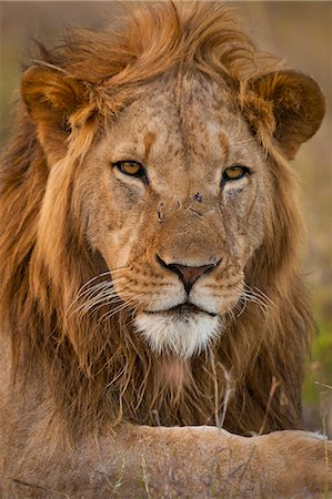 Male lion, Ol Pejeta Conservancy; Kenya Stock Photo - Rights-Managed, Code: 832-08007533