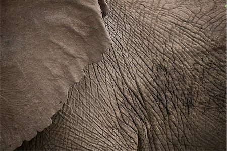 Detail of elephant, Ol Pejeta Conservancy; Kenya Stock Photo - Rights-Managed, Code: 832-08007542