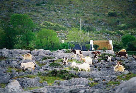 Goats, Near Ballyvaghan, The Burren Co Clare Stock Photo - Rights-Managed, Code: 832-02254477