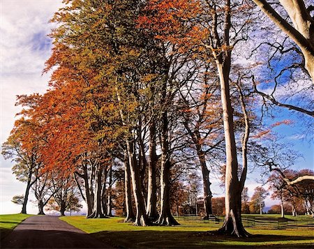 road landscape - Beech Trees on Entrance Avenue, Powerscourt House & Gardens, Co Wicklow, Ireland Stock Photo - Rights-Managed, Code: 832-02252550