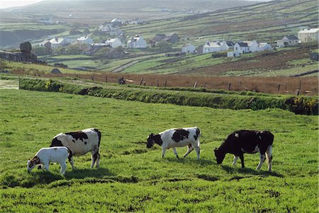saloon - Arranmore Island, Co Donegal, Ireland; Cattle Grazing Stock Photo - Rights-Managed, Code: 832-03639643