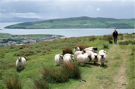 Flock Of Sheep, Dingle, County Kerry, Ireland Stock Photo - Rights-Managed, Code: 832-03640670