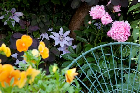 Detail of wire garden chair in suburban garden against backdrop of pink peonies, orange pansies, mauve clematis and purple-leaved cotinus. Stock Photo - Rights-Managed, Code: 845-03777581