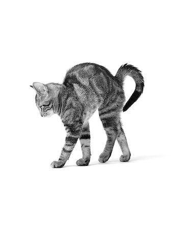 1960s SIDE VIEW OF KITTEN STRETCHING OUT WITH ARCHED BACK Stock Photo - Rights-Managed, Code: 846-05646176