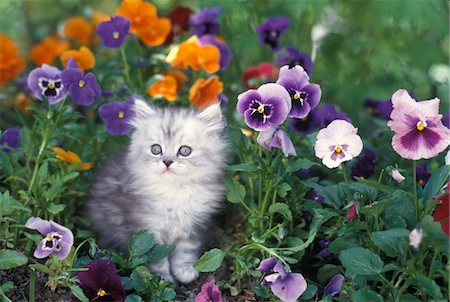 domestic - 1990s SHADED SILVER PERSIAN KITTEN IN GARDEN WITH PANSIES Stock Photo - Rights-Managed, Code: 846-05646735