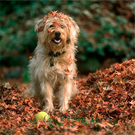pile leaves playing - 1980s SHAGGY BEIGE AND WHITE DOG Stock Photo - Rights-Managed, Code: 846-05646819