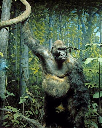 STUFFED SPECIMEN OF MOUNTAIN GORILLA Gorilla beringei beringei IN DIORAMA DISPLAY NATURAL HISTORY MUSEUM TAXIDERMY ENDANGERED SPECIES GREAT APE Stock Photo - Rights-Managed, Code: 846-05647611