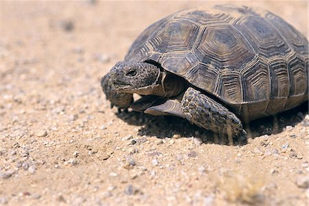 DESERT TORTOISE ENDANGERED EAST MOHAVE NATIONAL SCENIC AREA CA Stock Photo - Rights-Managed, Code: 846-06112130