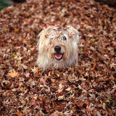 pile leaves playing - DOG COVERED IN LEAVES UP TO HIS HEAD Stock Photo - Rights-Managed, Code: 846-07200091