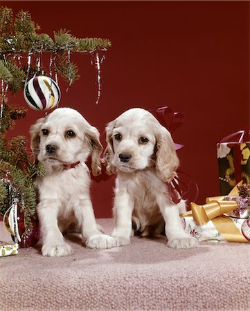 1960s TWO COCKER SPANIEL PUPPIES NEXT TO CHRISTMAS TREE Stock Photo - Rights-Managed, Code: 846-02795273
