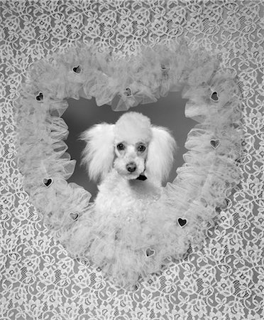 1960s WHITE FRENCH POODLE PET DOG INSIDE LACE RUFFLED VALENTINE HEART SHAPED FRAME Stock Photo - Rights-Managed, Code: 846-02797734