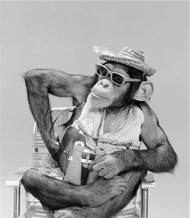MONKEY CHIMPANZEE WEAR HAT SUNGLASSES BINOCULARS SITTING IN BEACH CHAIR CHARACTER HUMANIZED VACATION TOURIST Stock Photo - Rights-Managed, Code: 846-02797932