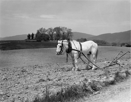 plow - 1930s WHITE HORSE IN FIELD HARNESSED TO HAND PLOW Stock Photo - Rights-Managed, Code: 846-02792910