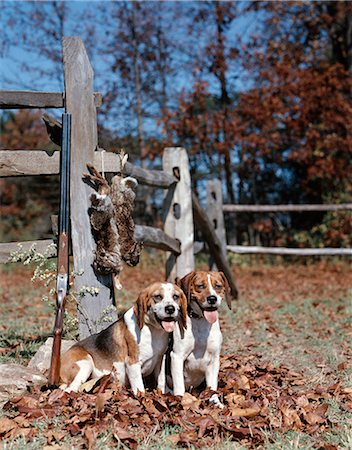 1950s 1960s 2 ENGLISH BEAGLE HUNTING DOGS BY SPLIT RAIL FENCE WITH RABBITS AND SHOTGUN Stock Photo - Rights-Managed, Code: 846-03164191