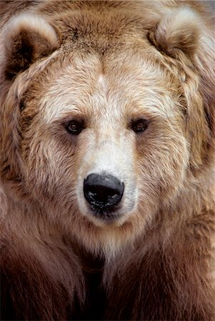 FACE OF BROWN BEAR BLACK BEAR VARIATION Ursus americanus NORTH AMERICA Stock Photo - Rights-Managed, Code: 846-03166263