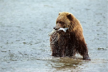 BROWN BEAR IN RIVER WITH SALMON IN MOUTH McNEIL RIVER STATE GAME SANCTUARY, AK Ursus arctos horribilis Stock Photo - Rights-Managed, Code: 846-03166279