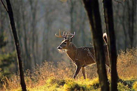 deer hunt - WHITETAIL BUCK, NINE POINT Odocoileus virginianus Stock Photo - Rights-Managed, Code: 846-03166271
