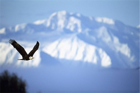 scope - AMERICAN BALD EAGLE IN FLIGHT Stock Photo - Rights-Managed, Code: 846-03163785