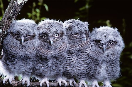 fluffy - 4 YOUNG EASTERN SCREECH OWLS Otis asio PENNSYLVANIA Stock Photo - Rights-Managed, Code: 846-03163817