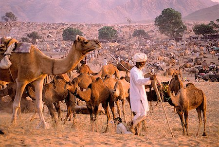 rajasthan camel - India, Rajasthan, Pushkar, A man prepares for night by tethering his camels. Stock Photo - Rights-Managed, Code: 849-02867201
