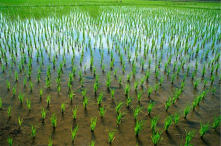 forestry - Thailand,Chiang Mai,Rice Paddy Fields Stock Photo - Rights-Managed, Code: 849-03645242