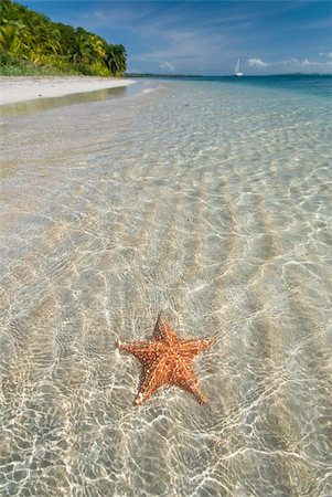 sea star - Starfish beach, Bocas Del Drago, Isla Colon, Bocas Del Toro, Panama, Central America Stock Photo - Rights-Managed, Code: 841-05785432